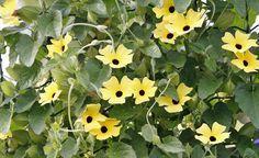 Die Schwarzäugige Susanne (Thunbergia) ist ein besonderer Blickfang. Die einjährige Schlingpflanze bevorzugt sonnige Lagen und bleibt mit 1,5 bis 2 Meter relativ niedrig