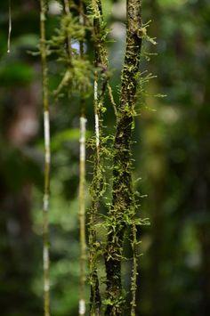 Moss & lianas. photo by Chasing Linnaeus