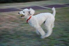 Run,run,run! #poodle