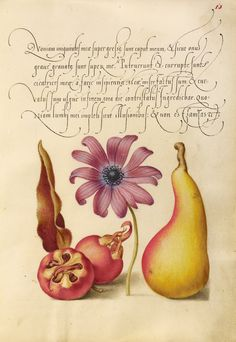 Medlar, Poppy Anemone, and Pear; Joris Hoefnagel (Flemish / Hungarian, 1542 - 1600), and Georg Bocskay (Hungarian, died 1575); Vienna, Austria; 1561 - 1562; illumination added 1591 - 1596; Watercolors, gold and silver paint, and ink on parchment; Leaf: 16.6 x 12.4 cm (6 9/16 x 4 7/8 in.); Ms. 20, fol. 13