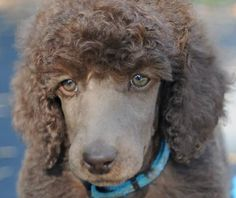 Stories about Standard Poodles and the enjoyment we have with our dogs