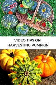 VIDEO Tips on Harvesting Pumpkin - This short video shares simple ways to avoid wasting baby pumpkins and flowers, curing pumpkin to extend the harvest and trimming the stem. | The Micro Gardener.  Dig in!