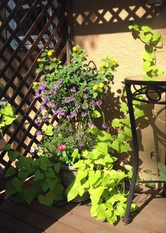 Potato vines add so much to a container garden!