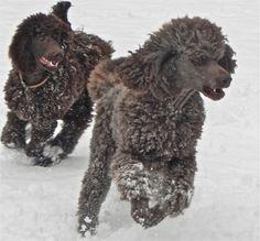 standard poodles play