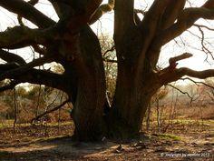 An Old tree on the westerheide near Hilversum in the Netherlands