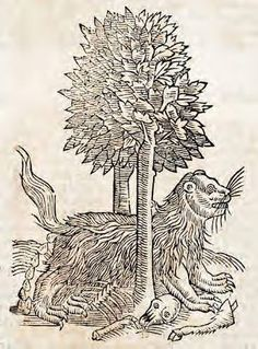 Gulon. 1658. This woodcut is an illustration from the book The history of four-footed beasts and serpents... by Edward Topsell, printed by E. Cotes for G. Sawbridge, T. Williams and T. Johnson in London in 1658. Special Collections, University of Houston Libraries (Public Domain).