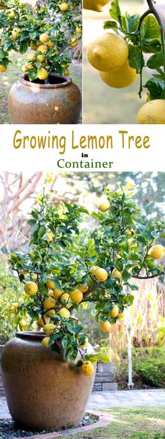Learn How To Grow A Lemon Tree In A Container