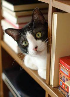 cute kitty on the book shelf