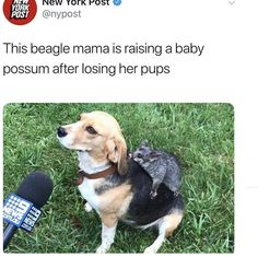 The only news that captured my afin. This beagle mama is raising a baby possum after losing her pups - iFunny :) Funny Animal Memes, Cat Memes, Funny Animals, Cute Animals, Funny Memes, Videos Funny, Funny Images Gallery, Baby Possum, Fresh Memes