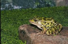 The Northern Leopard Frog is the state amphibian of Minnesota and Vermont. It was adopted by Minnesota on Proposed in 1999 and Vermont in 1998.
