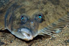 Flatfish have a clever way of blending into their surroundings.
