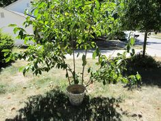 A great tip for  slow release watering for especially new trees.