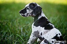 Great Dane Puppy Training