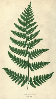1 - Our native ferns, or, A history of the British species and their varieties / - Biodiversity Heritage Library