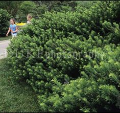 4/6'x4/6' Cephalotaxus harringtonia Duke Gardens YEW