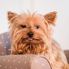 Für Alfi war heute ein entspannter Tag. Für mich eher nicht. Frieda hält mich ganz schön auf Trapp! Mit ihren 14 Monaten ist sie den ganzen Tag am diskutieren! Gute Mischung aus Papa und Mama. Diskutiert wie Papa dickköpfig wie Mama. Perfekt!  Das kann noch was werden!  Morgen muss ich wieder zum Tierarzt und Medis holen da muss Alfi ja zum Glück nicht mit rein.   #Hundejunge #Hundeliebe #yorkie #yorkshireterrier #yorkieliebe #lieblingshund #hundezunge #fusselhund