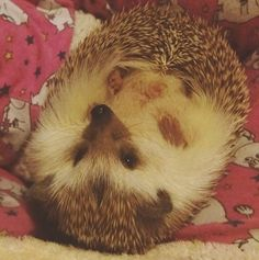 Happy International Hedgehog Day! :) #internationalday #hedgehog