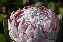 Protea--i saw a great centerpiece using a protea here--http:/. Protea--i saw a Protea Bouquet, Protea Flower, Flora Flowers, Unusual Flowers, Flower Tea, Amazing Flowers, Wild Flowers, Exotic Plants, Tropical Plants