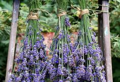 Harvesting lavender is a great way to tidy up unruly plants and will give you a whole bunch of inspiration for projects throughout the year.