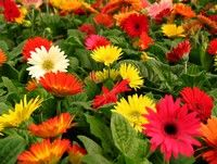 Gerbera Daisy (Annual) loaded with spring color...
