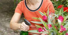 Mit den ersten Frösten ist die Freiluftsaison für exotische Kübelpflanzen vorbei. Jetzt gilt es, das geeignete Winterquartier zu finden und die Pflanzen mit der richtigen Pflege unbeschadet durch die kalte Jahreszeit zu bringen.