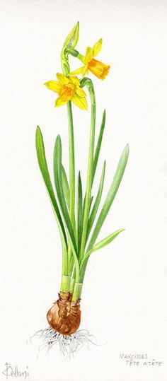 Daffodils - Gardening Gazette