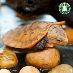 Turtle hatchling (Platysternon megacephalum)