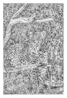 black and white fine art image of a camoflaged leopard by wildlife photographer Dave Hamman Wildlife Photography, Animal Photography, The Great Migration, African Animals, Wildlife Art, Fine Art Paper, Art Images, City Photo, Fine Art Prints