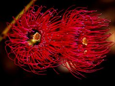 Eucalyptus flower.