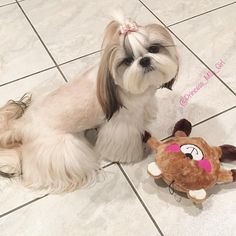 No photo description available. Shih Tzu Puppy, Shih Tzus, Asian Dogs, Dog Grooming Styles, Teddy Bear Dog, Dog Pounds, Rottweiler Dog, Cute Dogs And Puppies, Cute Creatures