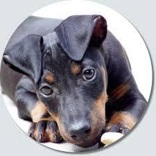 Image result for manchester terrier
