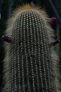 Neobuxbaumia polylopha della famiglia delle Cactacee