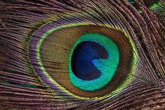 Peacock Feather, Structuur, Fonds