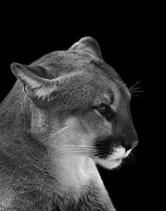 An American Mountain Lion - aka the cougar!