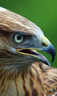 https://www.wallpaperu3.com/wp-content/mywallpapers/green-eyes-eagle-wallpaper-480x800.jpg