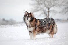A Utonagan is a breed of dog that resembles a wolf, but in fact is a mix of three breeds of domestic dog: Alaskan Malamute, German Shepherd, and Siberian Husky.