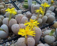 Lithops ruschiorums