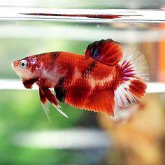 Live Betta Fish Male Fancy Super Red Koi Sanke Halfmoon Plakat #K20