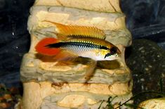 1 x A. agassizi - Red Tail 3cm  ON LINE:  http://www.majesticaquariums.com.au/live-fish/dwarf-american-cichlids/1-x-a-agassizi-red-tail-3cm  Not available instore! Online orders only!   PRICE-50 $