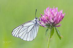 Black-veined White (Aporia crataegi) | by holger2061 |...