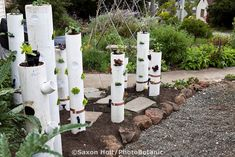 Vertical gardening, pvc pipe with vegetables in California front yard small space garden. Funky!