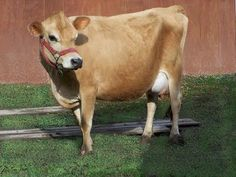If I ever have land, I'm gonna buy retired jersey milkin cows and let them graze the rest of their lives! So so cute!!