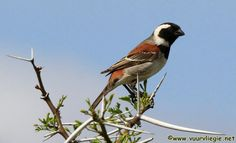 his photo of a Cape Sparrow (Passer Melanurus) was taken at a game lodge called Koffylaagte South African Birds, Game Lodge, Birds 2, Sad, Google Search, Friends, Nature, Animals, Birds