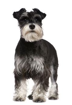 How to enjoy your Schnauzer and eliminate problems