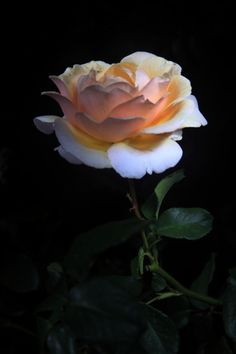 What a beautiful rose!