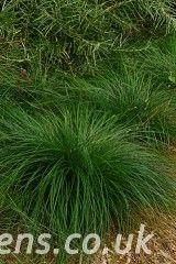 Carex divulsa0172