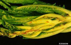 Aster yellows, otra enfermedad que pueden sufrir las lechugas de tu #huerto #macetohuerto