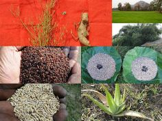 Validated and Potential Medicinal Rice Formulations for Hypertension (High Blood Pressure) and/with Diabetes mellitus Type 2 Complications (TH Group-282) from Pankaj Oudhia's Medicinal Plant Database