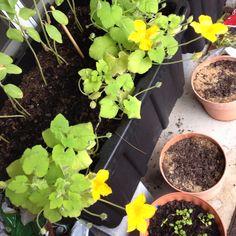 Blooming squash!!