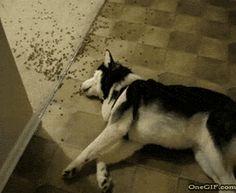 Dog Eats Food While Laying Down GIF